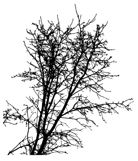tree clip art. free sequoia tree clip art