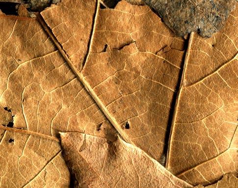 BB Dried Leaves 04